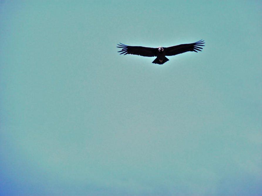 Andenkondor, Cruz del Condor, Peru
