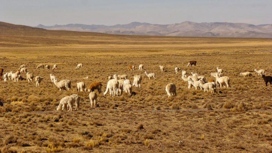 Lamas und Alpakas in der Hochebene, Peru