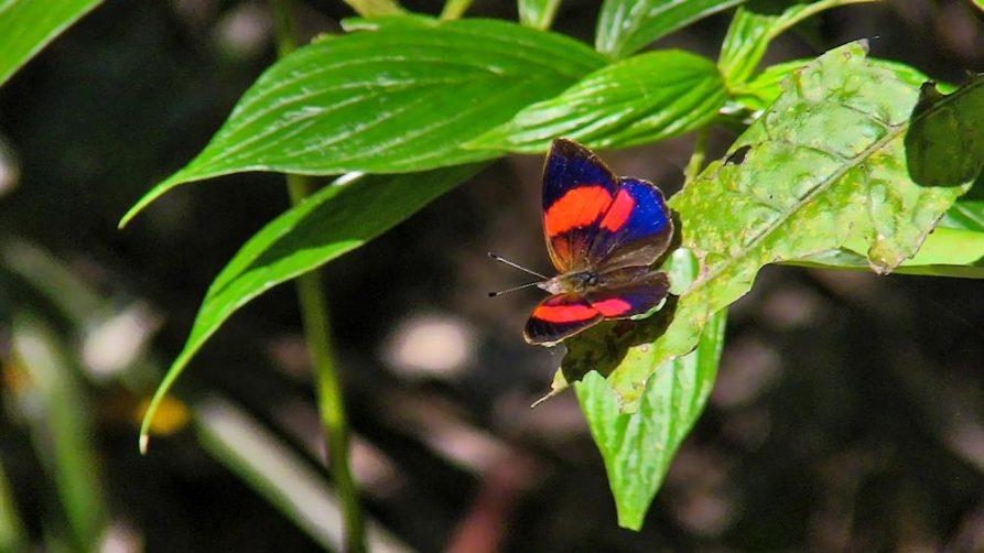 Schmetterling im Naturreservat Mbaracayu, Paraguay