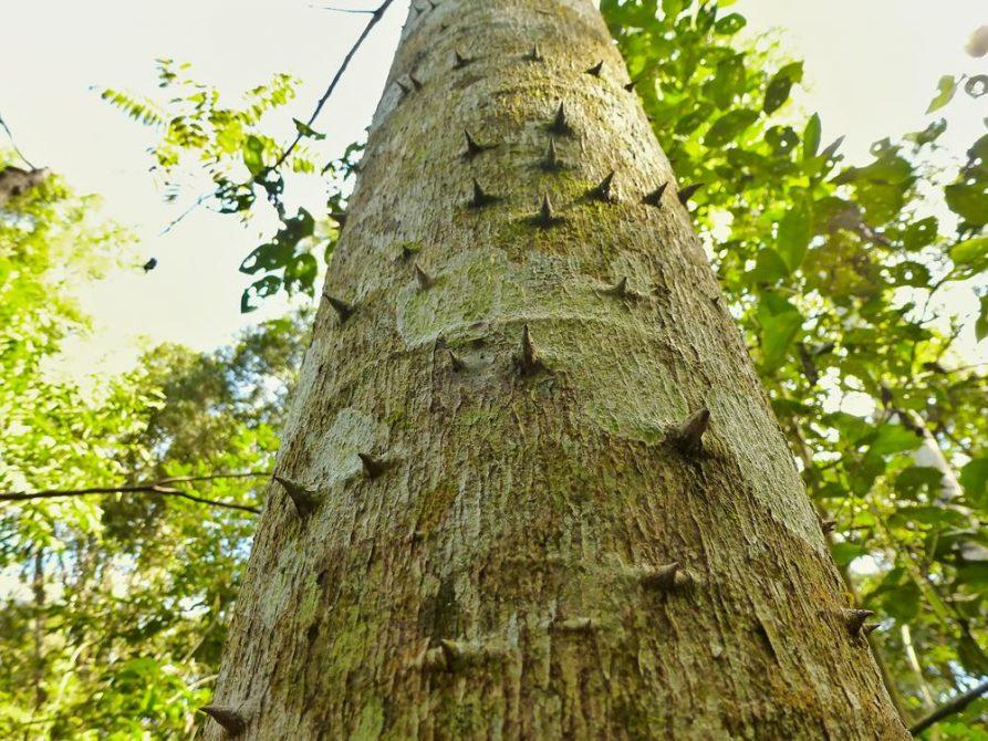 Dornen am Baumstamm, Naturreservat Mbaracayu, Paraguay