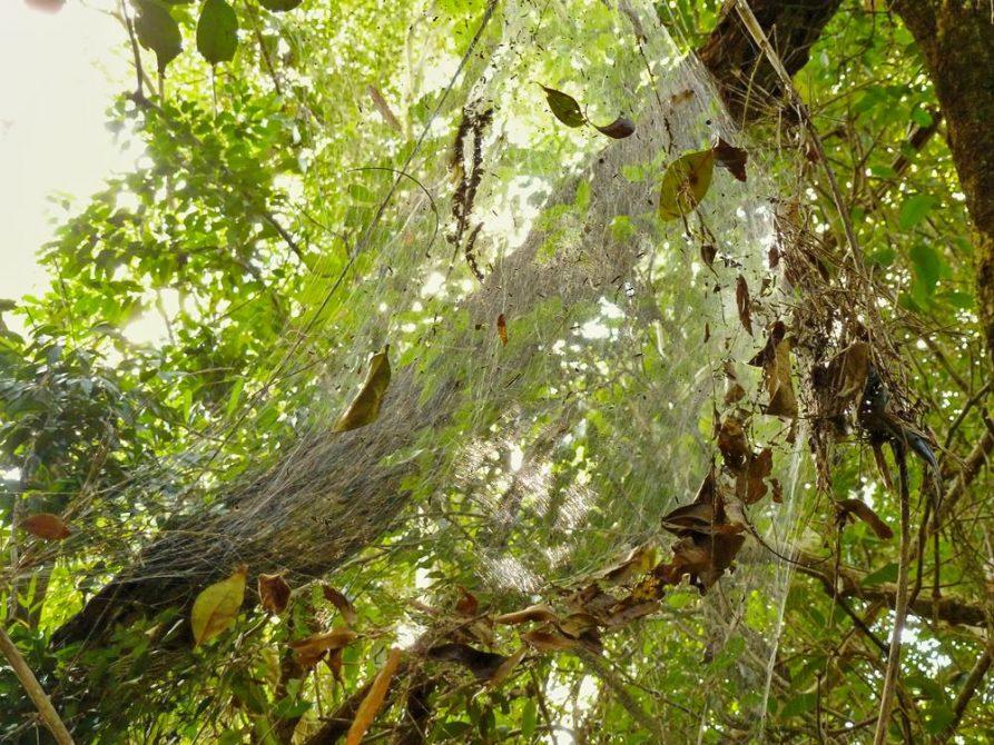 Spinnennetz, Naturreservat Mbaracayu, Paraguay