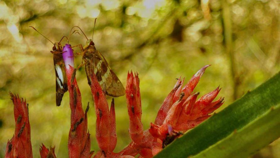 Schmetterlinge auf Blüten im Naturreservat Mbaracayu, Paraguay