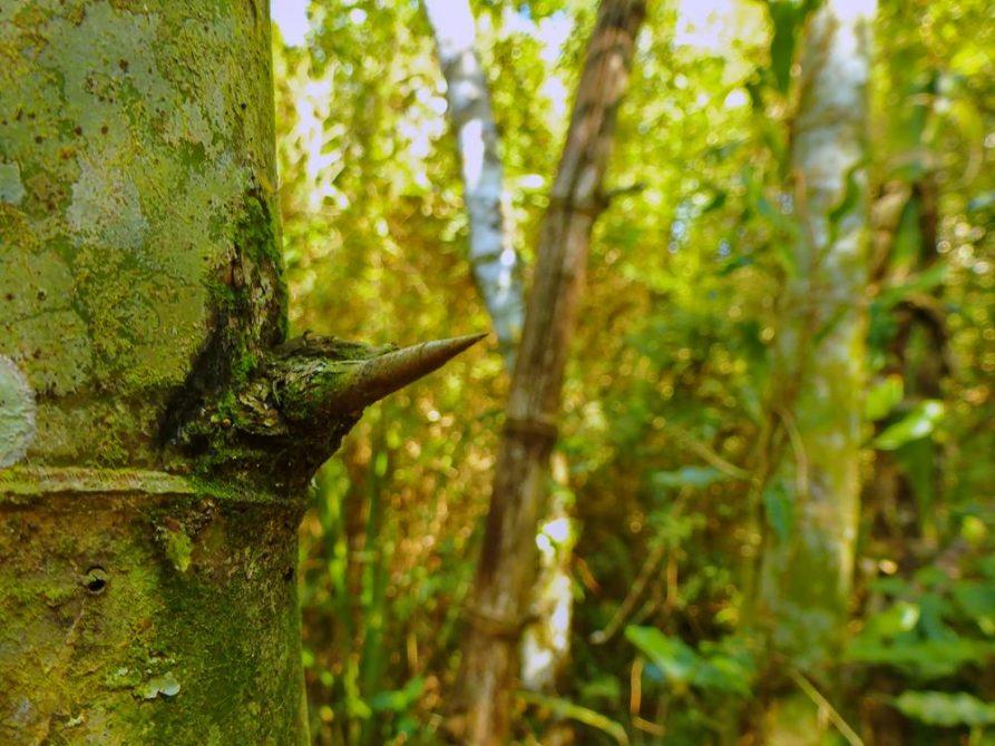 Dorn am Baumstamm, Naturreservat Mbaracayu, Paraguay