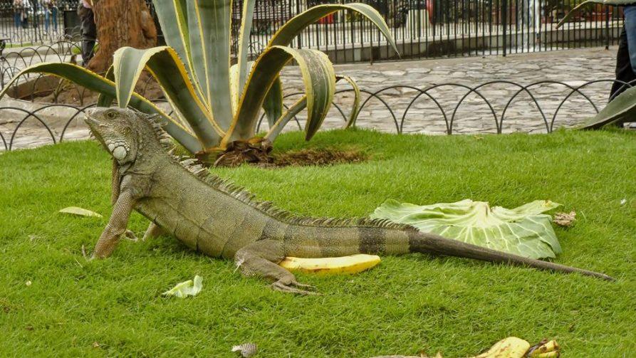 Leguan im Parque Seminario, Guayaquil, Ecuador
