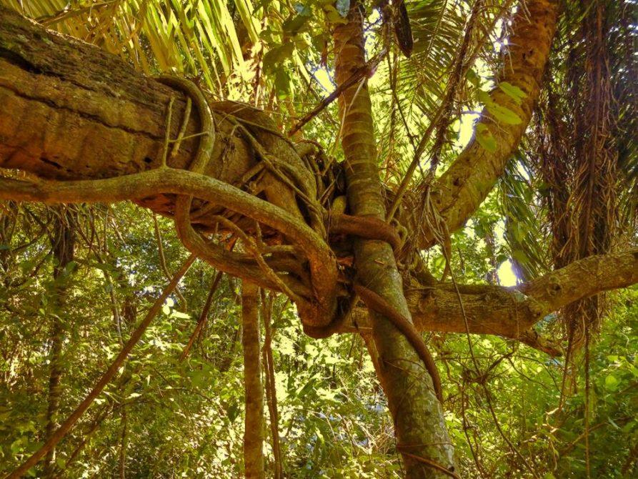 Dichter Dschungel im Nationalpark Amboró, Bolivien