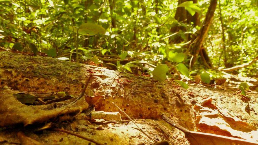 Blattschneideameisen, Dichter Dschungel im Nationalpark Amboró, Bolivien